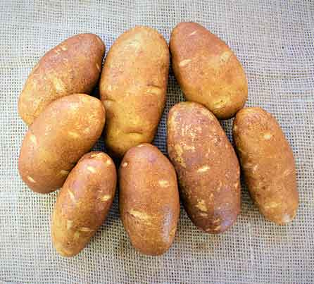 Norkotah 278 Russet Seed Potatoes from San Acacio Seed