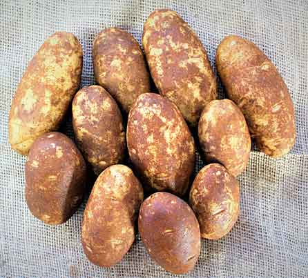 Norkotah 296 Russet Seed Potatoes from San Acacio Seed
