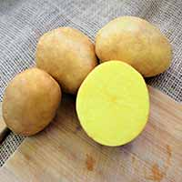Soraya Yellow Fleshed Seed Potatoes