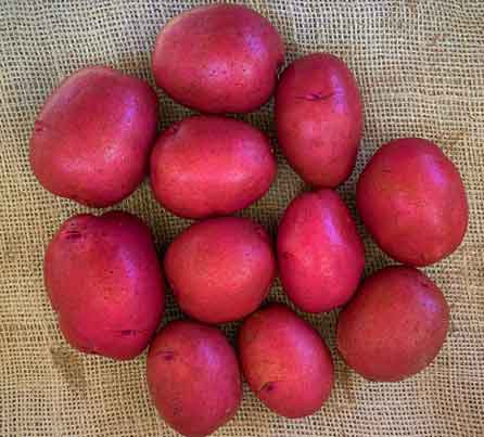 Modoc Red Seed Potatoes from San Acacio Seed